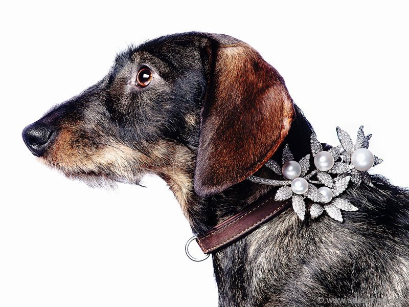 """Wire-haired dachshund """"Bella"""""""