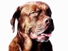 "Dogue de Bordeaux ""Ruba"""