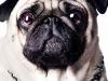 """Pug """"Molly"""""""