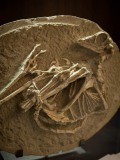 Troodontid collection at Robert Mantella\'s Toronto office.